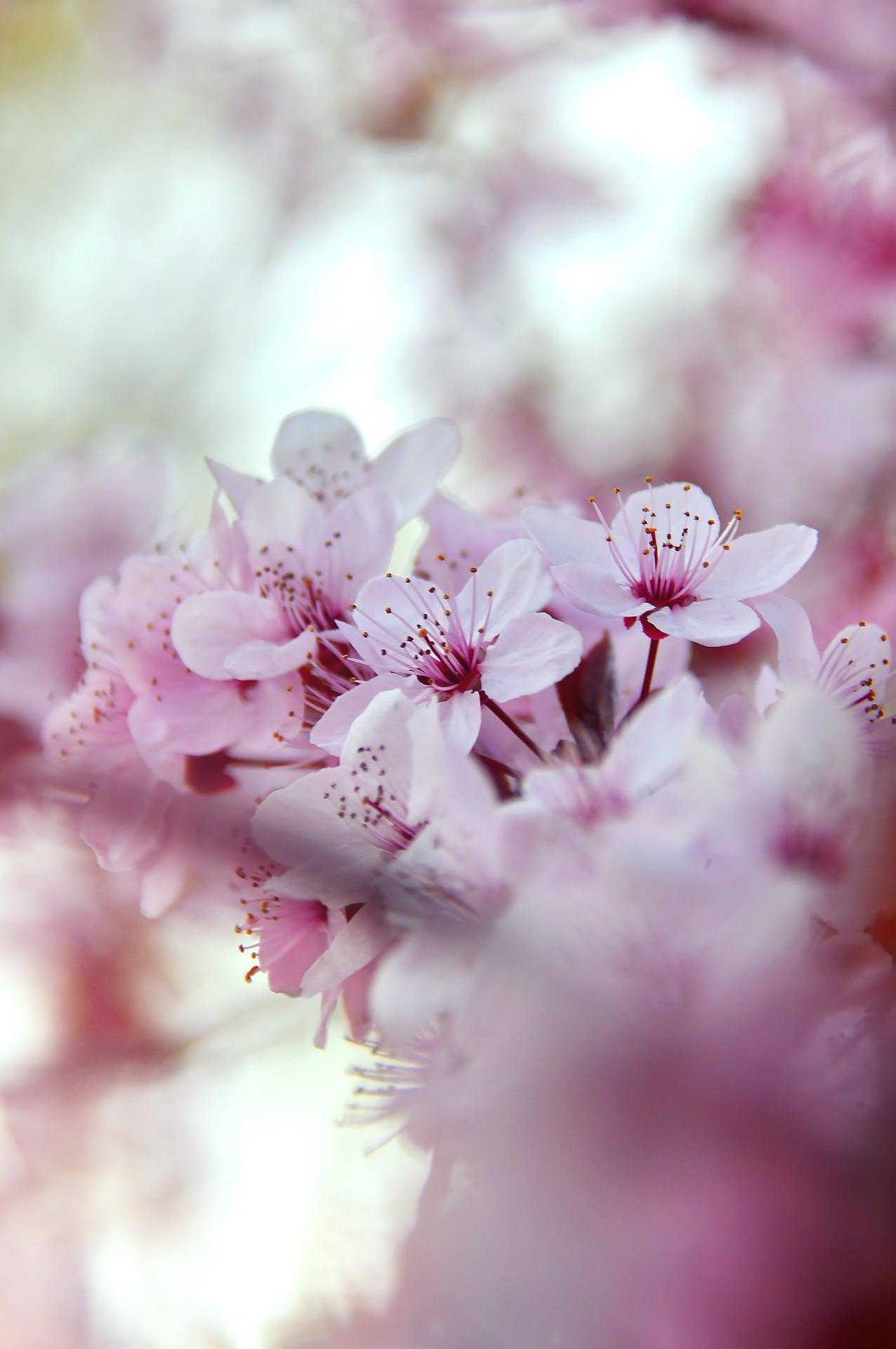 Evighetens Vila Begravningsbyrå blomstrande körsbärsträd